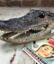 Taxidermie tête de crocodile